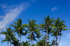 Palm Tree Paradise. Palm trees basking in the tropical sun Royalty Free Stock Photography