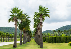 Palm tree in the park,Rajabhakti park,Thailand. Palm tree in the park,Rajabhakti park Prachuabkhirikhan Province,Thailand Stock Photography