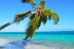 Palm tree. Picture of a palm tree in the carribbean Stock Photos