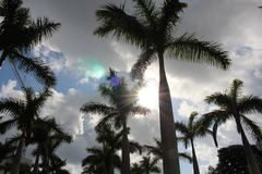 Palm tree. A picture of palm trees Royalty Free Stock Images