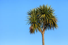 Palm Tree. A palm tree pictured in Garlieston on the Dumfries and Galloway coastline in Southern Scotland Stock Photo
