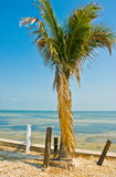 Palm tree on Pine Island Royalty Free Stock Photo