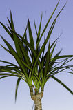 Palm tree. Plant and blue sky Royalty Free Stock Image