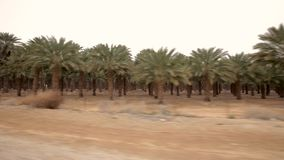 Palm tree plant from car. Plant of palm tree in desert of Israel stock video