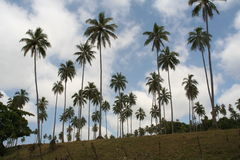 Palm tree plantation. In Vanuatu, south pacific Stock Photography
