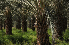 Palm tree plantation Stock Images