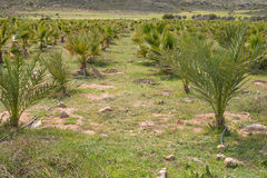 Palm tree plantation Royalty Free Stock Photography