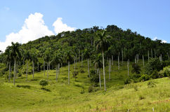 Palm tree plantation in Las Terrazas (Pinar del Rio, Cuba). Typical hill in Las Terrazas Unesco Biosphere Reserve, with a palm tree plantation in the footslope ( Stock Images