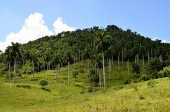Palm tree plantation in Las Terrazas (Pinar del Rio, Cuba). Typical hill in Las Terrazas Unesco Biosphere Reserve, with a palm tree plantation in the footslope ( stock images