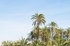 Palm tree plantation Royalty Free Stock Photo