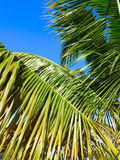 Palm Tree - Puerto Rico Royalty Free Stock Photography