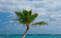 Palm Tree on Punta Cana Beach - Landscape. Palm Tree on Punta Cana Beach, Dominican Republic Royalty Free Stock Photo