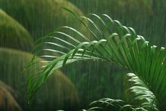 Palm tree in the rain Royalty Free Stock Image