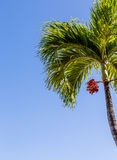Palm Tree with Red Fruit and Blue Sky Royalty Free Stock Image