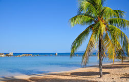 Palm Tree on Caribbean Beach Stock Photography