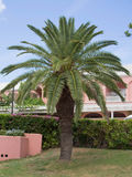 Palm Tree at a Resort Stock Photography