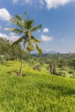 Palm tree in a rice field on Bali island. Indonesia royalty free stock photo