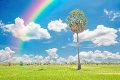 Palm tree and rice field Stock Images