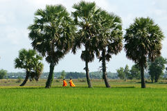 Palm tree on rice field Royalty Free Stock Image