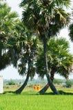 Palm tree on rice field Stock Photos
