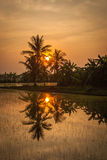 Palm tree and a rice field at sunrise Royalty Free Stock Photo