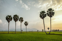 Palm tree and rice field at sunset Stock Photos