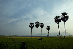 Palm tree and rice field in sunset Stock Image