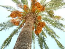 Palm tree with yellow dates on the sky background royalty free stock photo