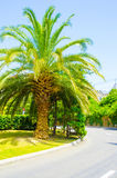 Palm tree by the road. The palm tree grows beside the road Stock Photo
