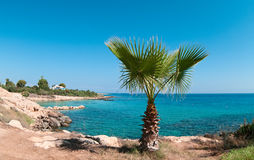 Palm tree on the rocky shore Stock Photo