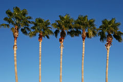 Palm Tree Row. A line of stately palms against a riveting clear blue sky Stock Photography