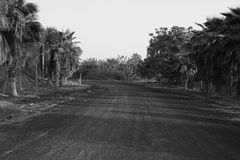 Palm tree row dirt road countryside black white Stock Images