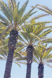 Palm tree row Royalty Free Stock Images