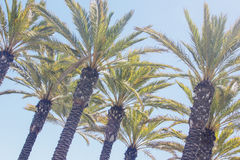 Palm tree row Stock Images