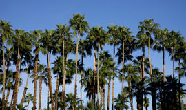 Palm Tree Row. A tall and stately row of palm trees against a clear blue sky stock photo