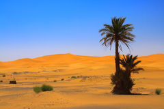 Palm tree on sahara Stock Images