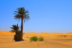 Palm tree on Sahara desert Stock Images