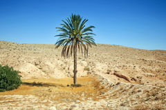 Palm tree in Sahara Royalty Free Stock Images
