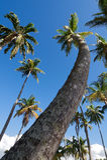 Palm tree - Saint Lucia tropical island. Marigot bay - Palm tree - Saint Lucia tropical island stock image