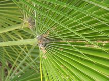 Palm-Tree In San Diego, California. Palm-Tree leaves in South California Royalty Free Stock Photo