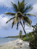 Palm tree on sandy beach. Palm tree on edge of sandy beach by the ocean in the Caribbean Royalty Free Stock Images