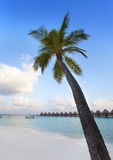 Palm tree on a sandy beach at the cyan sea. Maldives. Stock Photos