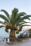 Palm tree on the seashore Royalty Free Stock Photography