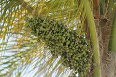 Palm Tree Seed Pods. Green Palm Tree Seed Pods Hanging from Palm Tree with Palm Leaves Stock Image