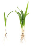 Palm tree seedling Royalty Free Stock Photos