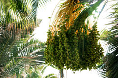 Palm tree seeds. Bunch of fruit/seeds from palm tree Royalty Free Stock Image