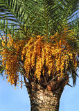 Palm tree with seeds Royalty Free Stock Photography