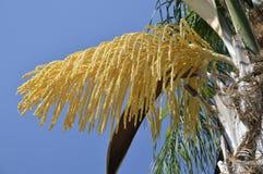 Palm tree seeds Royalty Free Stock Photos