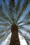 Palm tree seen from underneath Stock Photography