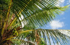 Seychelles palm tree with coconuts. stock image